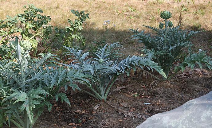 Artiskokkerne har ikke fået vand siden plantningen.