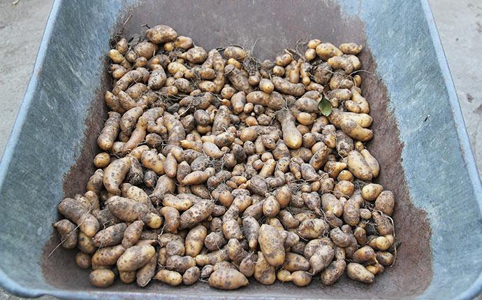 Masser af skurvede aspargeskartofler til tørring i trillebøren.