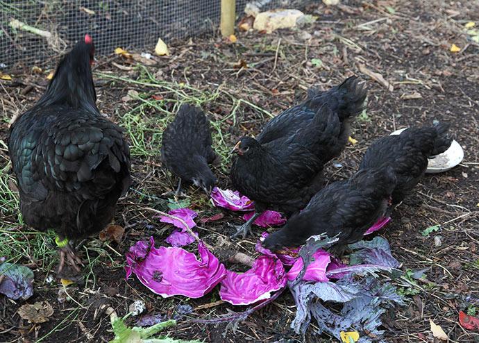 Kyllingerne undersøgte det kortvarigt, men da deres hønemor Amalie ikke godkendte det med sin normale klukken, skulle de heller ikke have noget.