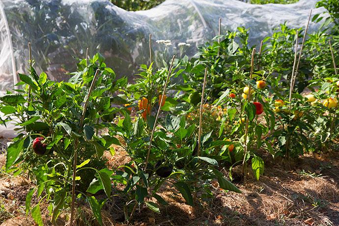 Den varme sommer har givet peberfrugterne optimale forhold - men de er blevet vandet de sidste tre uger, da de begyndte at hænge med bladene.