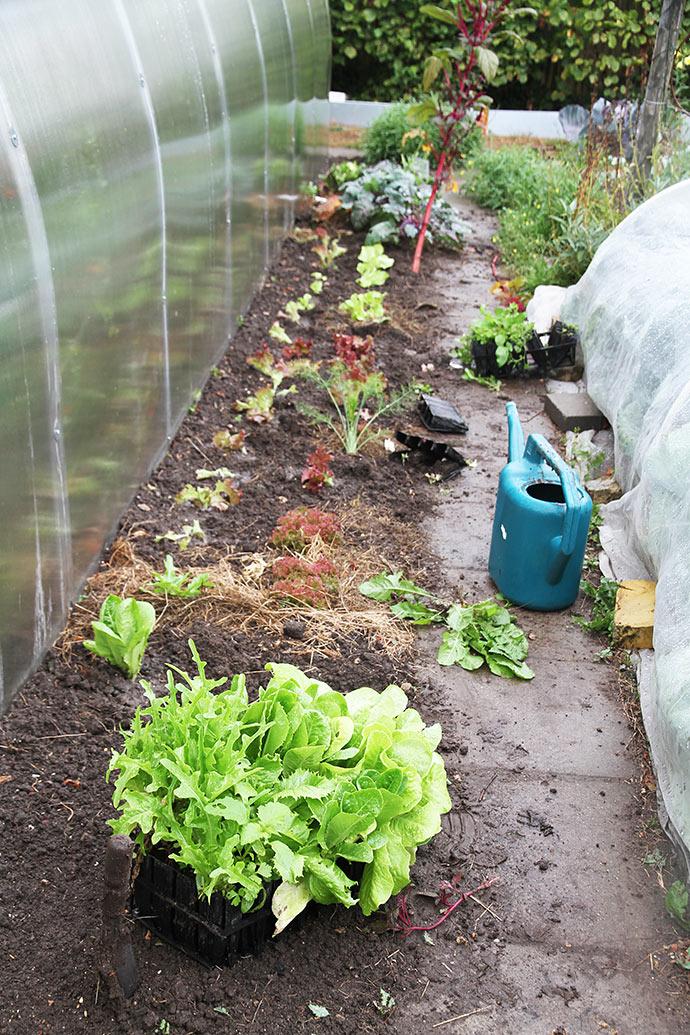 Jeg har længe haft to rootrainere stående med store salatplanter. Nu kom de i jorden.