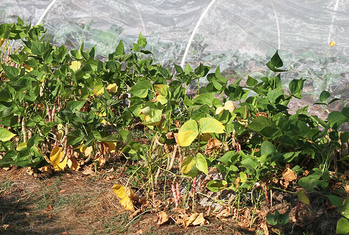 Bønner tåler ikke tørke særligt godt, så de er blevet vandet en hel del gange. Borlottobønner kræver mere vand end de lilla Purpiat snitbønner og de grønne Maxi bønner.
