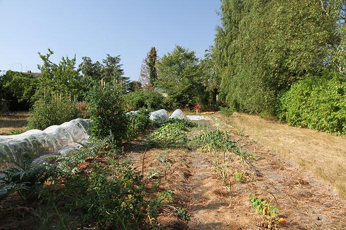 Grønsagsmarken tættest på rækken med birketræer har givet misvækst på grund af vandmangel.