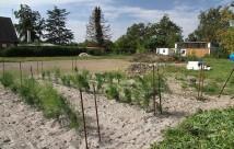Jeg er ret glad for resultatet. Det er meningen, at det skal dyrkes til hvide asparges - derfor den store rækkeafstand.