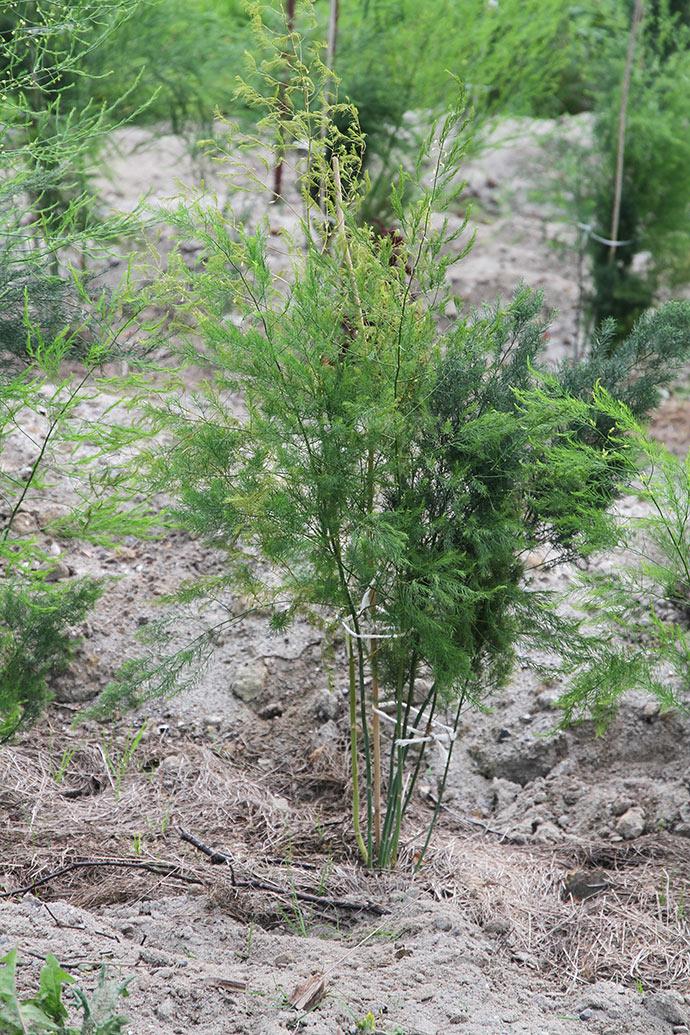 Aspargesplanter inden der fyldes det sidste sand ind omkring planterne. Her kan man se jorddækket.