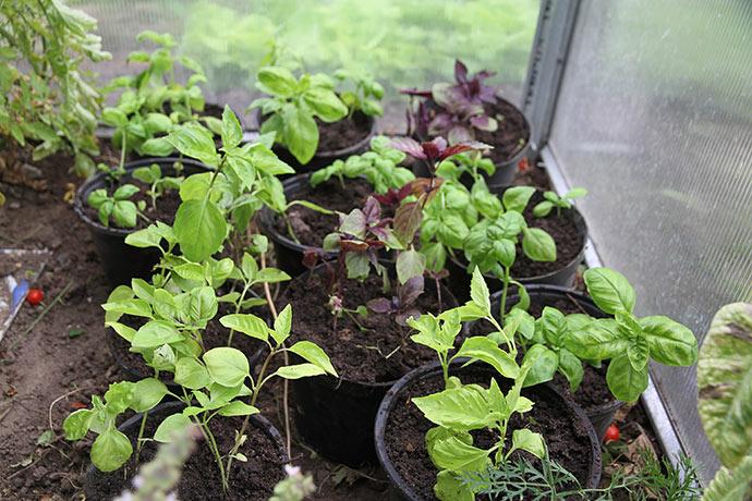 Nyplantet basilkum i potter i drivtunnelen.