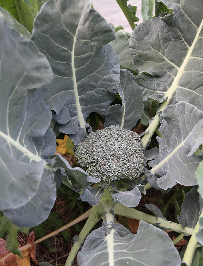 Første broccoli her i sensommeren.