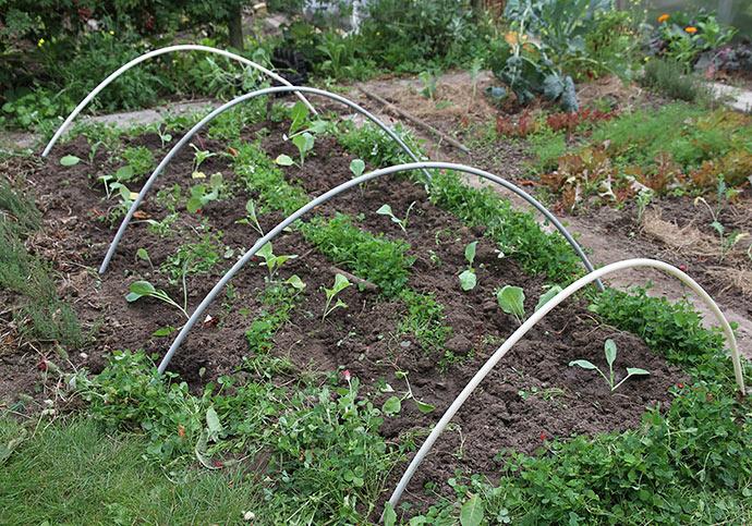 Overvintrende spidskål plantet efter bønner med undersåning af sneglebælg og blodkløver.