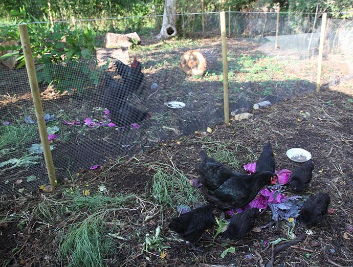 Idyl i kyllingegården for få dage siden. Bagved høns og hane i hønsegården.