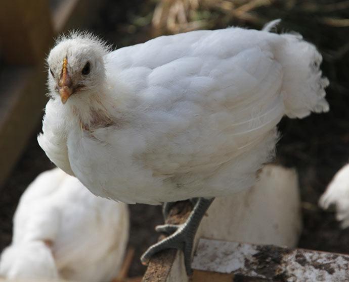 En 4 uger gammel La Bresse kylling ser lidt lurvet ud med en kombination af fjer og dun.