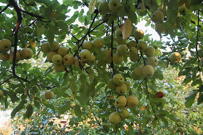 Golden Delicious æbletræet har båret utroligt mange store og fine æbler.