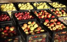 Her er halvdelen af vores høst af spiseæbler i år.