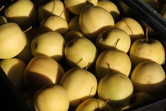 Det blev til 9 kasser æbler med fine Golden Delicious æbler. Der er ca. 100 æbler i hver kasse.