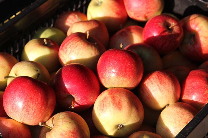 Jonagold æblerne er meget mere røde end normalt efter en perfekt æblesommer. Det blev til 7 kasser.