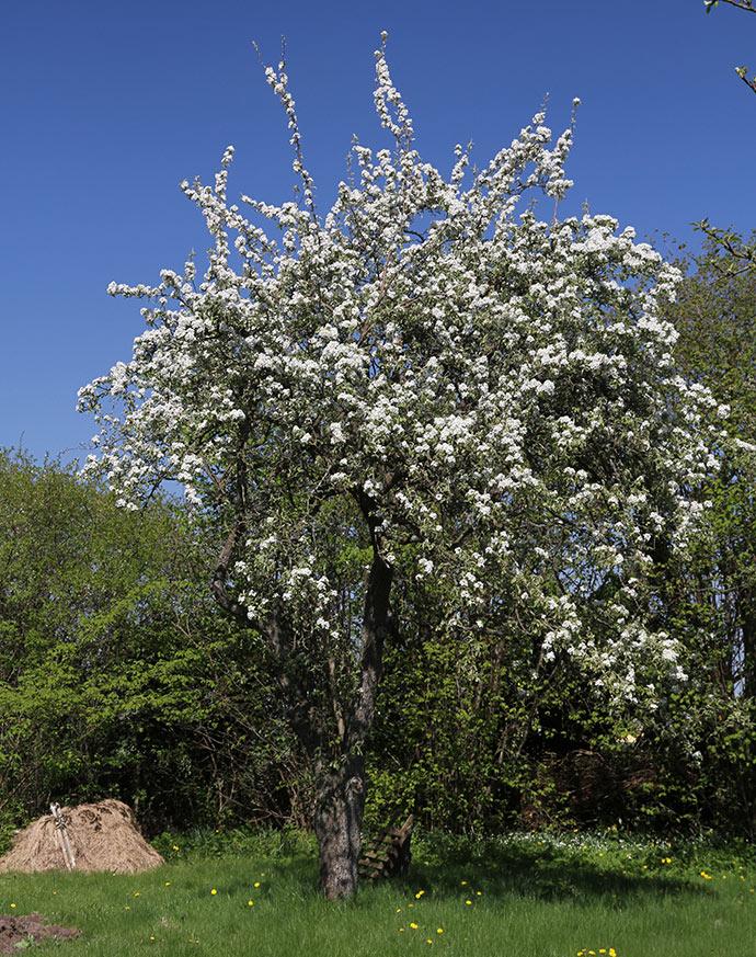 Det gamle pæretræ er så smukt, når det blomstrer.