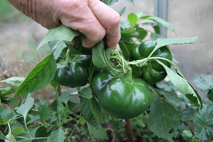 Tre store grønne tomatpaprika af sorte Vlad. De er meget tykvæggede.