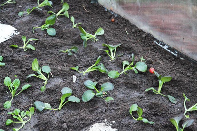 Jeg har plantet flere forskellige sorter af pak choi.