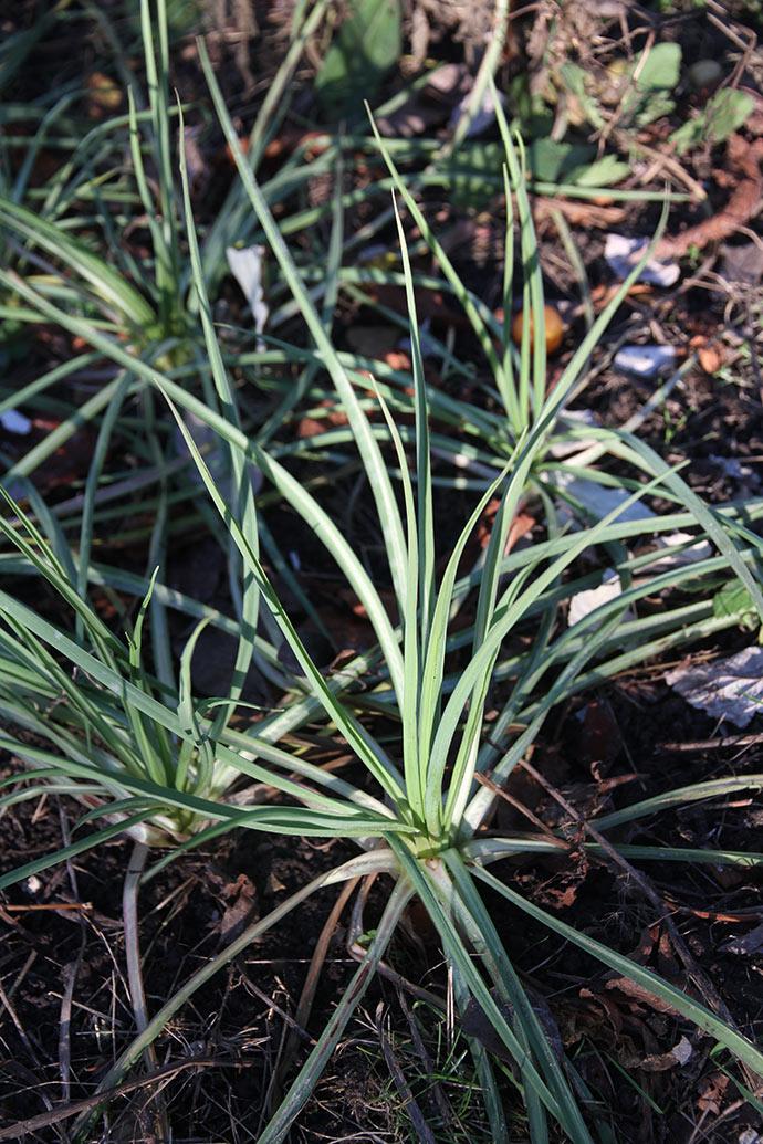 Heldigvis er der også afgrøder, som kan klare kulden. Havrerod er en af dem - den står så smuk lige nu.