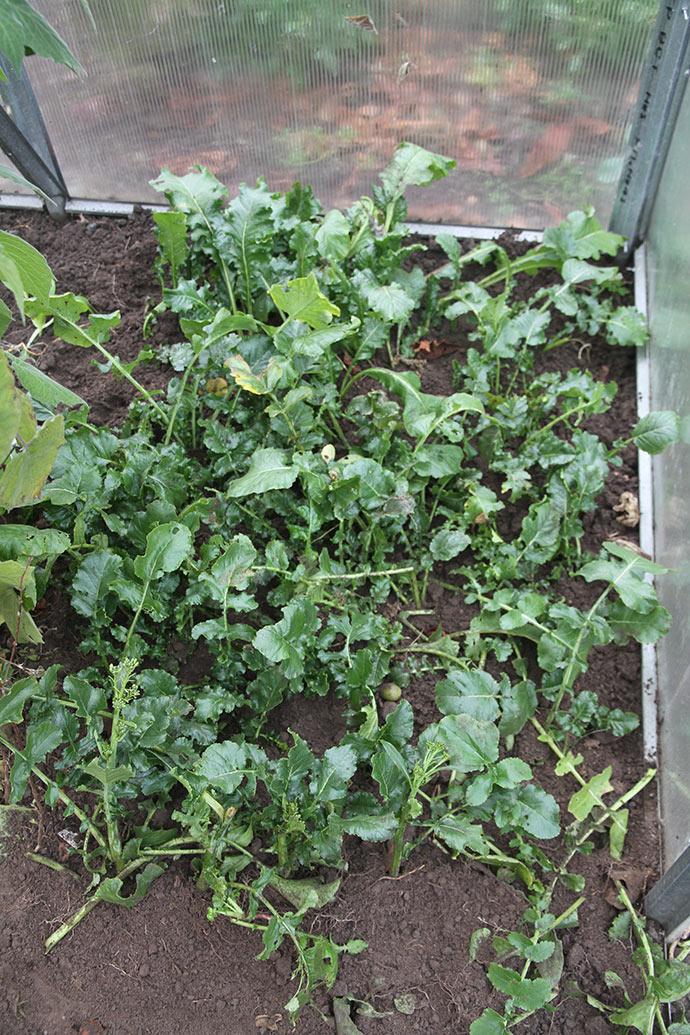 De kinesiske radiser får fjernet de største blade, inden de slås ind i drivtunnelen. De bevarer de grønne blade.