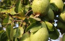 Der var mange pærer på i år. Her en af de nederste grene.