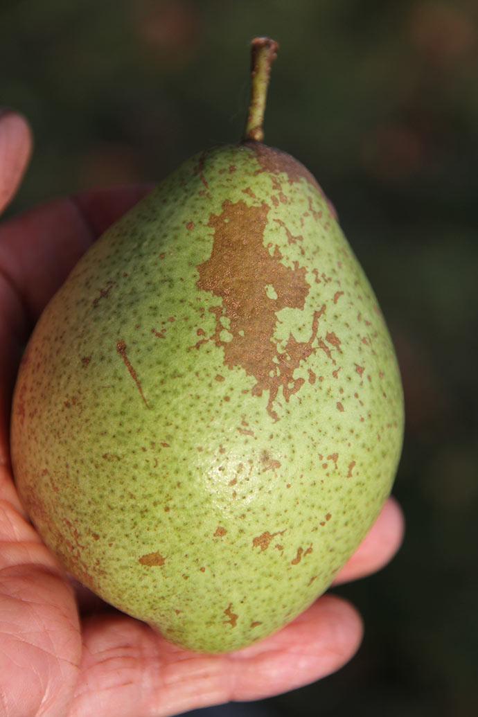 En smuk pære og god størrelse i år.