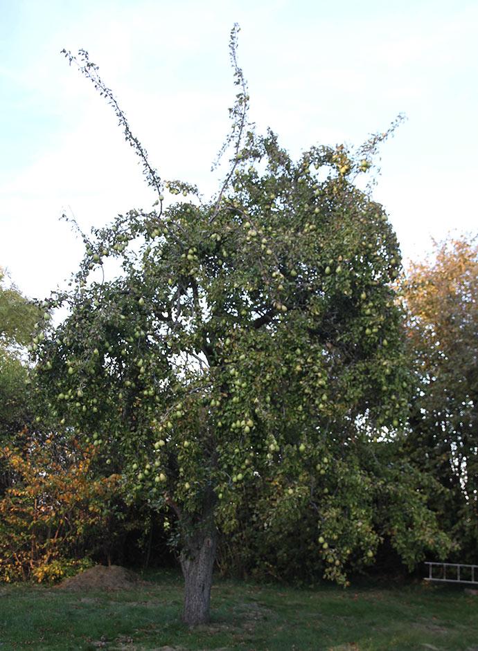 Det er også smukt, når det står fyldt med store grønne pærer i efteråret.