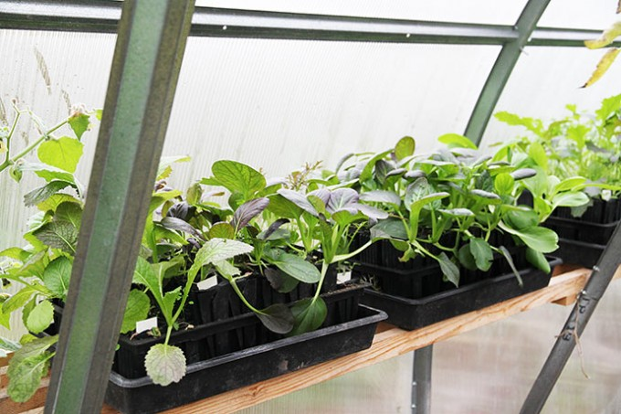 Pak choi planter i venteposition til at blive plantet ud.