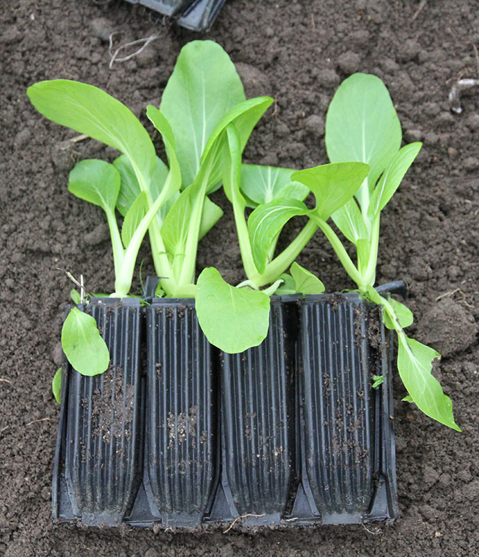 Fint kultiveret og revet jord klar til at plante pak choi i.