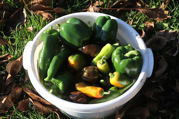 Jeg plukkede de største af peberfrugterne af planterne, men har dækket med vinterfiberdug, Måske planterne overlever.
