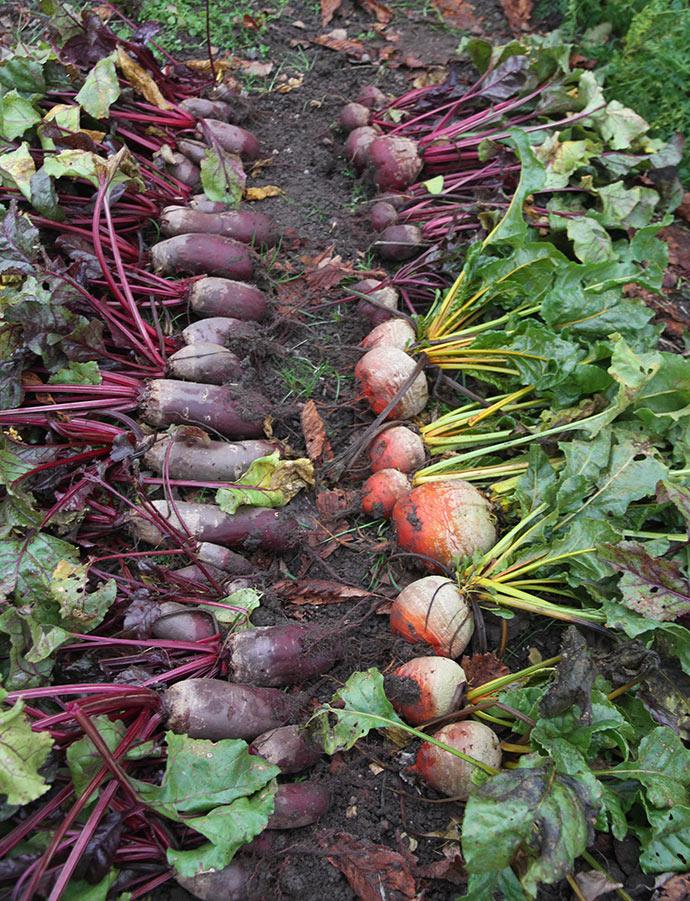 Rødbeder kan blive store, selv om de først sås som 2. afgrøde.