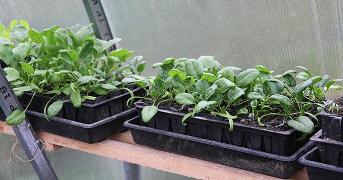 I år har jeg fordoblet antallet af spinatplanter, så vi kan få en stor tidlig høst til forår.