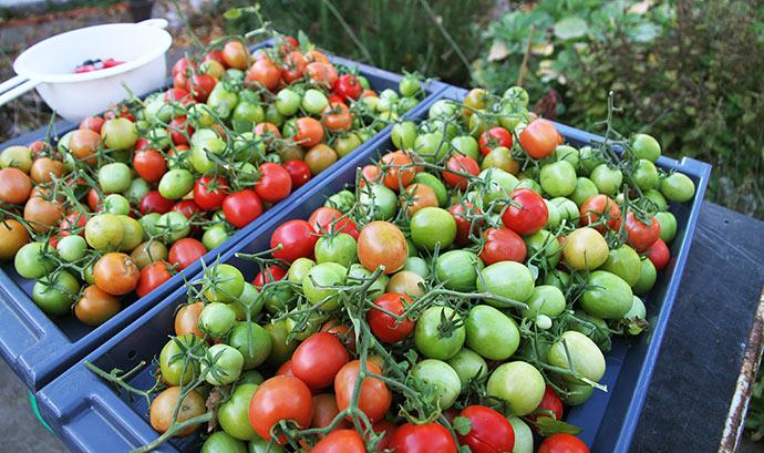 Tomater af sorten Dorenia. De er allerede modnet ret meget siden det her billede blev taget for 10 dage siden.