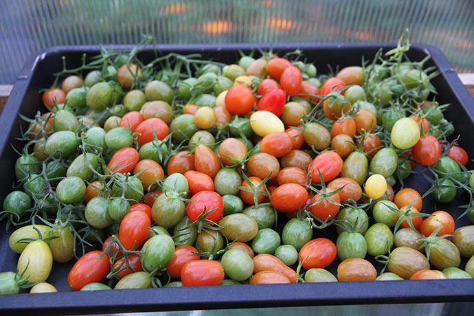 De sidste små tomater er blevet plukket. Jeg er ikke sikker på, at de grønne modner.