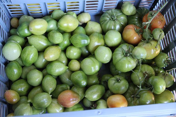 Tv. grønne tomater af Can Burgunya Til højre grønne bøftomater.