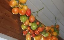 De runde store orange er Ponderosa. Jeg har også forsøgt at hænge lidt andre tomater op.