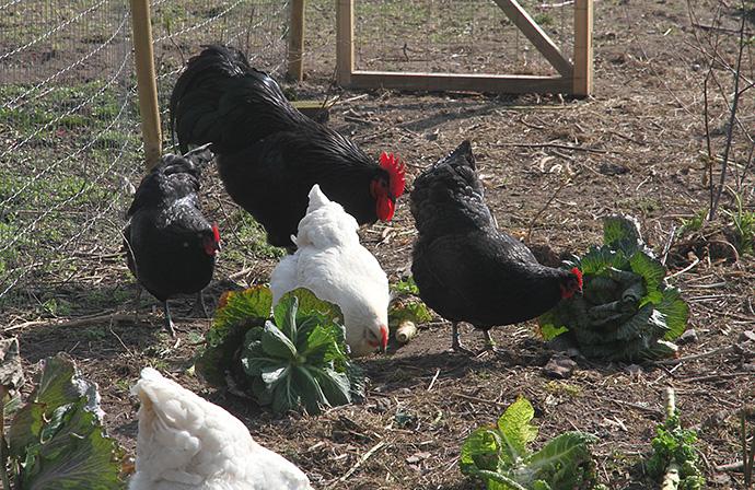 Forårssol, høns og masser af kål - så kan det ikke blive meget bedre.