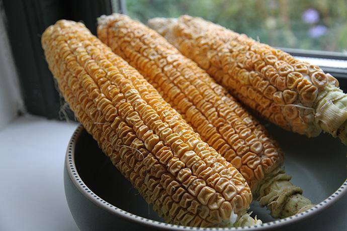 Tørring af majsfrø