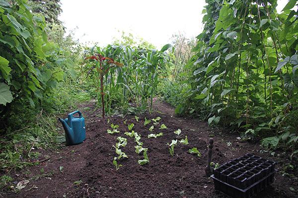 Salatbedet er ret skyggefuldt med høje planter på alle sider.