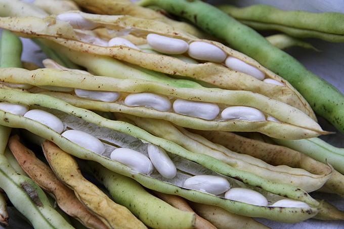 Store veludviklede bønnefrø, som lige kan tages ud og bruges i maden.