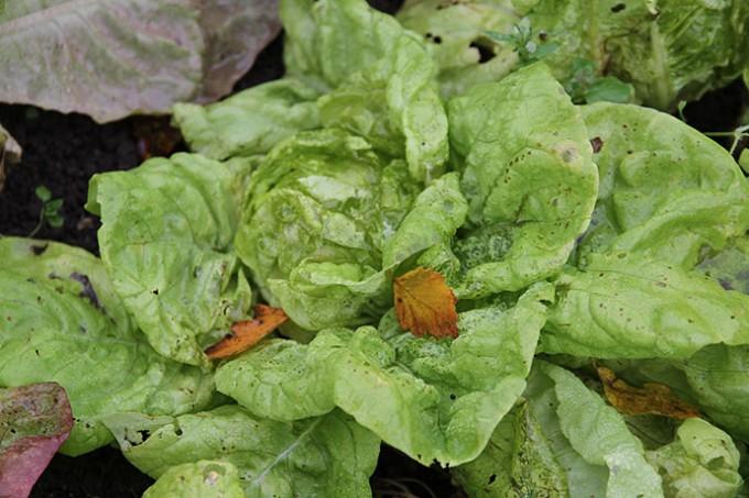Det her salathoved er ødelagt af frost.