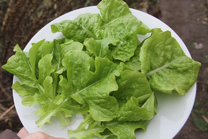 Nyhøstede salatblade den 23. februar.