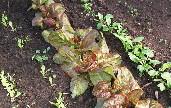 Til venstr salat sået i februar, til højre radiser sået i februar. I midten overvintrede salatplanter udplantet samtidig med at jeg såede.