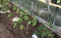 Her er der plantet tomater, auberginer og peberfrugt.