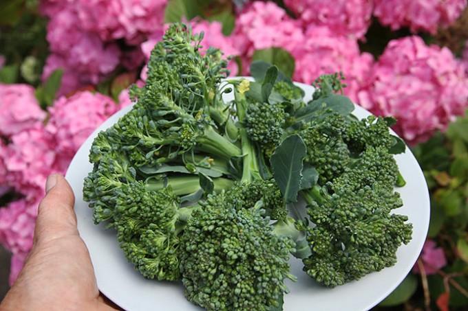 Dagens høst af broccolibuketter.