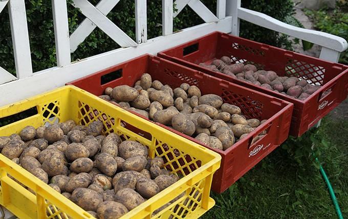 De første kartofler er taget op og står til tørring.
