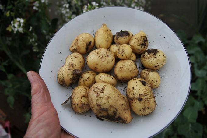 400 g nye kartofler af sorten Solist.