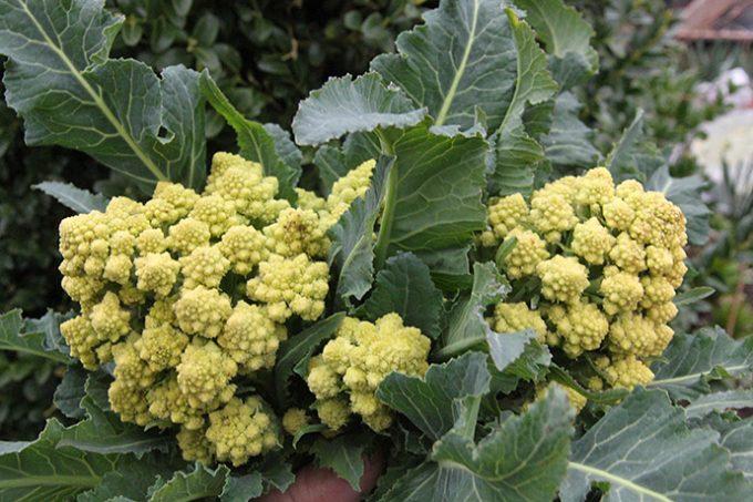 Romanesco har givet flere lækre hoveder her sidst i marts. Her to hoveder fra samme plante.